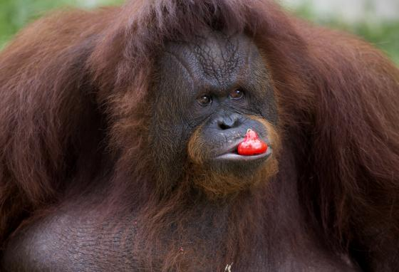 A female orangutan named Amidah eats fruit inside her enclosure at Medan Zoo in Indonesia. Many animals live in Indonesia's jungle forests, including orangutans. (AP)
