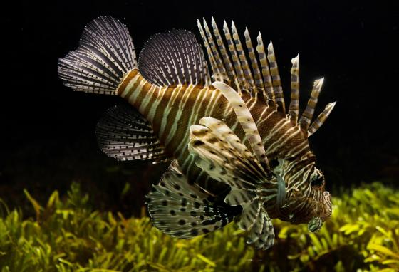 A hurricane destroyed an aquarium. A few lionfish escaped—and those have multiplied greatly in the wild.