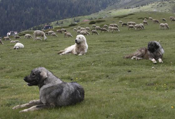 """Dogs guard sheep in a pasture on Shar Mountain. The name of the breed is """"Sharplaninec."""" (AP/Boris Grdanoski)"""