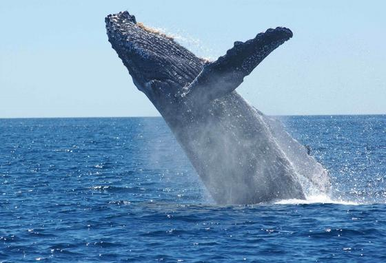 Whales swim to cold depths where their food lives, but they migrate back to warm water to give birth to their young.