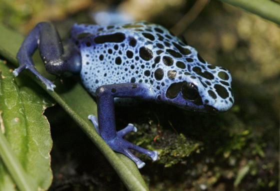 Poison dart frogs have a mutation that gave their skin black blobs and stripes. (AP)