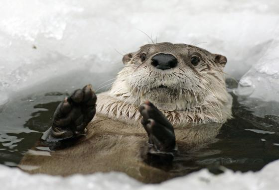 Otters' fur keeps them toasty warm, even in cold water. (Ronald Wittek/picture-alliance/dpa/AP)