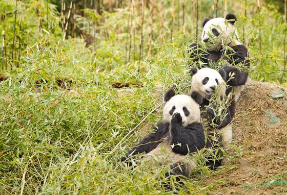 Giant pandas live in the wild only in China. They eat bamboo, and they stay far away from people.