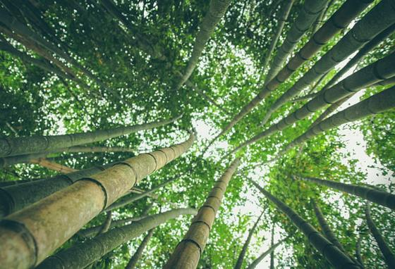 If you put all the bamboo forests in the world together, one fourth of the whole forest would be from China!
