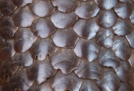 Pangolin scales are prized by people who want to use the animals for natural