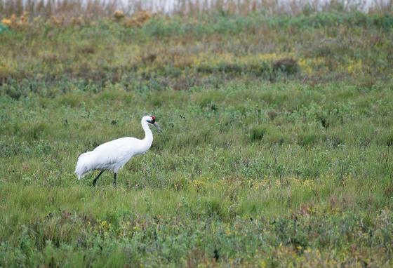 Whooping cranes visit prairies during migration. They prefer spots humans haven't disturbed.