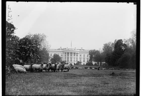 President Woodrow Wilson's sheep graze on the White House lawn. (Library of Congress)