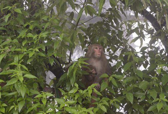 A macaque mother holds her baby as she takes shelter from the rain in Dharmsala, India. Trees provide shelter for many living creatures. (AP/Ashwini Bhatia)