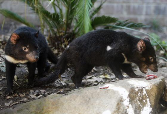 Tasmanian devil pups search for food in their enclosure at Sydney's Taronga Zoo. (AP)