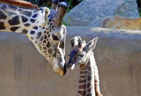 A baby female Masai giraffe nuzzles her father at the Los Angeles Zoo. Each giraffe's spot pattern is unique. (AP)