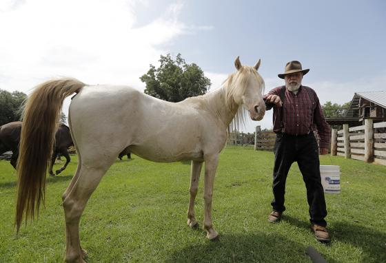 This stallion, DeSoto, may save the line of horses brought to America by Spanish conquistadors and bred by Choctaw Indians. (AP)