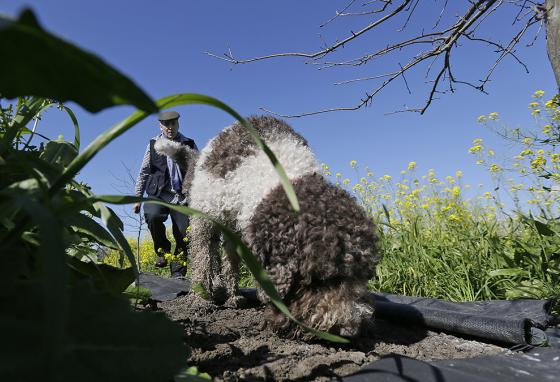 Bill Collins follows Rico. The Italian water dog sniffs out truffles, a very expensive root fungus used in fancy cooking. (AP)