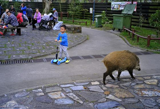 Wild boars aren't just seen in parks. They show up in Hong Kong's streets, housing developments, and shopping centers, too. (AP)
