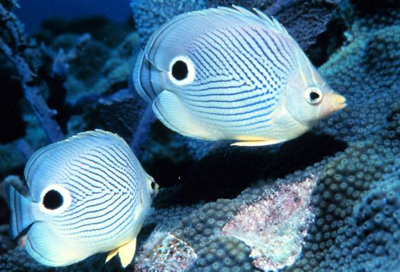 Foureye butterflyfish—Does this fish protect itself by making a predator attack its tail instead of its head?