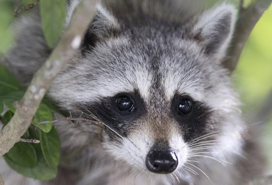 Some animals, like this raccoon in Florida, thrive after hurricanes. Raccoons have plenty to scavenge after a big storm. (AP)