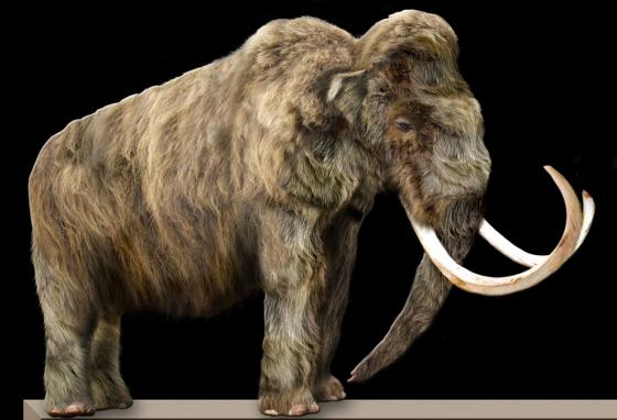 A life-sized model of a mammoth. Ice Age wolves roamed during the same time in history as mammoths. (AP)