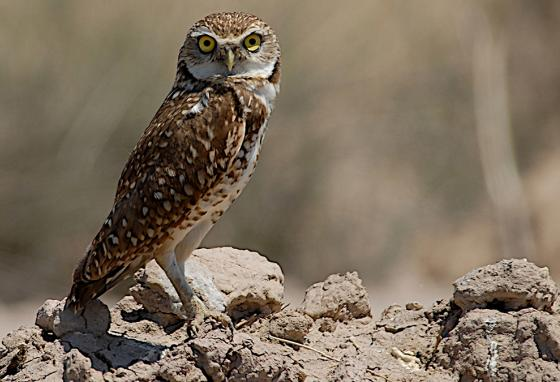 A burrowing owl keeps an eye on a photographer. (AP)