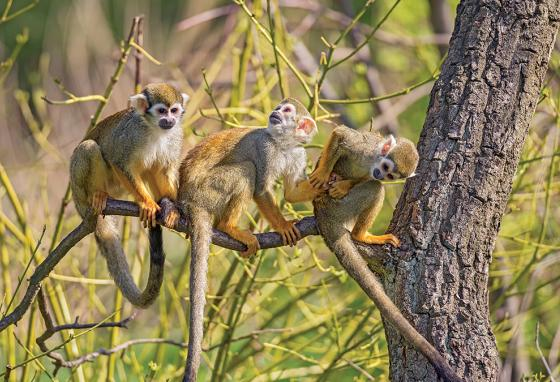 Monkeys almost always have long tails to help them swing through trees. (AP)