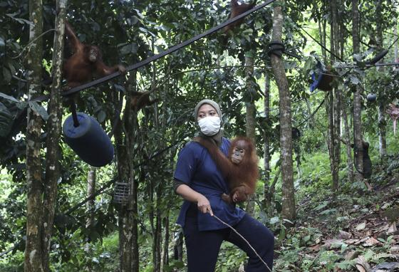 Because they grew up without mothers, these orangutans learn how to swing in trees and live in the wild from rescue workers. (AP)