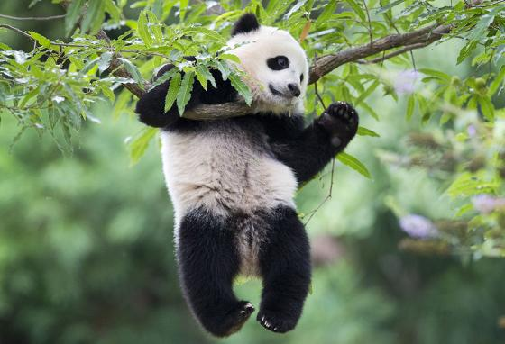 Bao Bao, on loan to the U.S., goofs off at the National Zoo in Washington, D.C. (AP)
