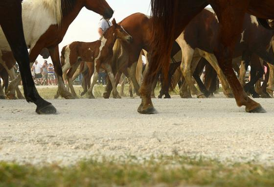 Ponies of the northern herd follow along to a corral on Assateague Island. (AP)