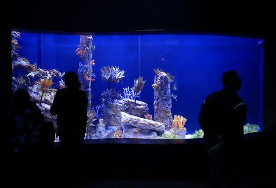 Visitors look at a tank holding sea dragons at the Birch Aquarium at the Scripps Institution of Oceanography at the University of California San Diego. (AP)