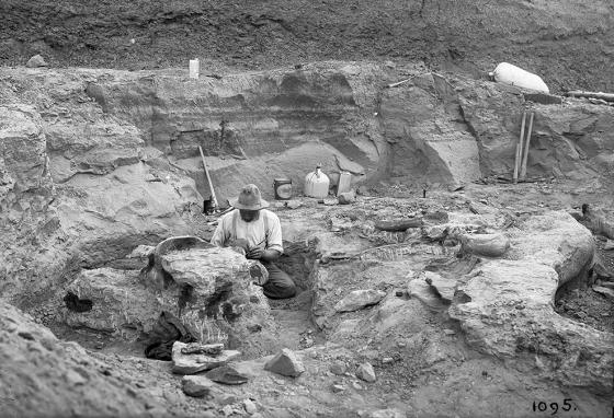 Peter Kaisen works to excavate a T. rex skull at Big Dry Creek, Montana, in 1908. (AMNH)