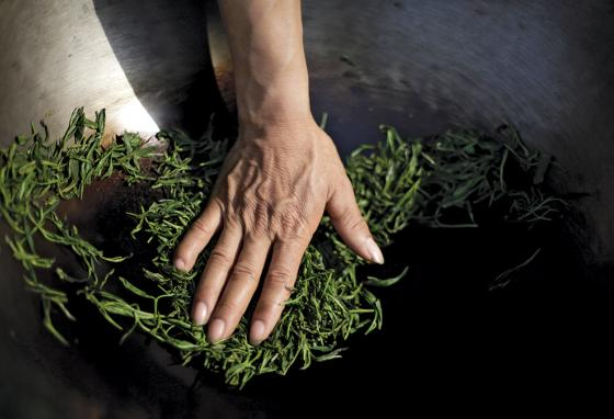 The finest teas are hand-rolled, but most tea is now machine-rolled.  (AP)