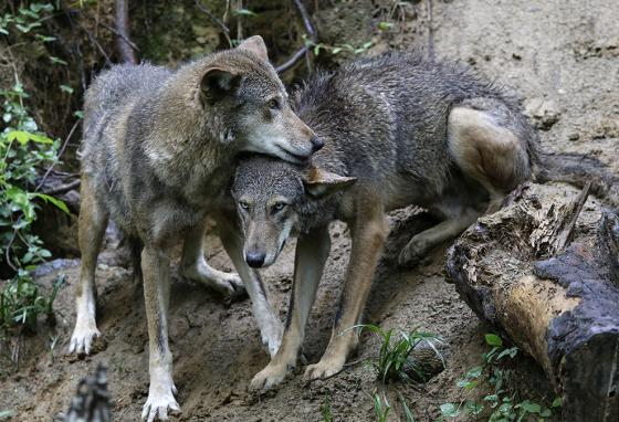 A pair of red wolves huddles at the Museum of Life and Science in Durham, North Carolina. (AP)