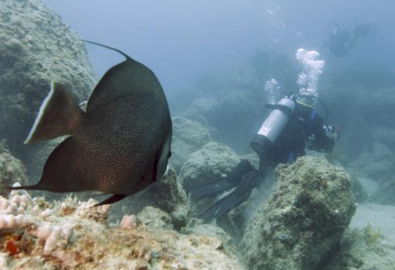 A Gray angelfish watches a scuba diver. Huge boulders were dropped on the ocean floor to create an artificial reef near Fort Lauderdale, Florida. (AP)