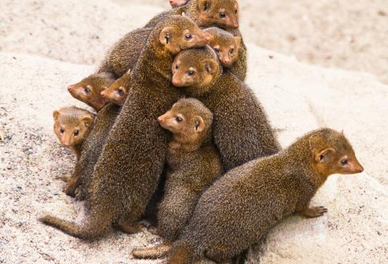 Members of a dwarf mongoose mob check in with each other throughout the day.