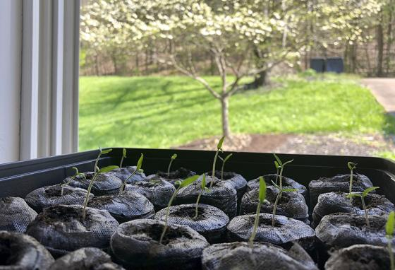 Tomato seedlings emerge from their pellets. Backyard gardeners shared stories online about growing vegetables, fruits, and flowers. (AP)