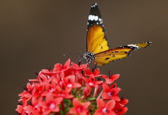 """A Danaus chrysippus or """"plain tiger"""" butterfly feeds on a plant. (AP/Kirsty Wigglesworth)"""