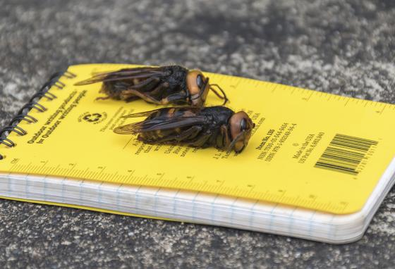 While this hornet is native to Asia, some were found in Washington State. Many are worried that the hornets will spread. (AP)