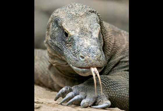 This Komodo dragon lives at Safari Park in Cisarua, West Java, Indonesia. Komodo dragons can be found in the wild only on four eastern Indonesian islands. (AP)