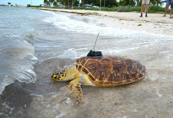 The public can track the turtles online. The one that swims the farthest is declared the winner. (AP)