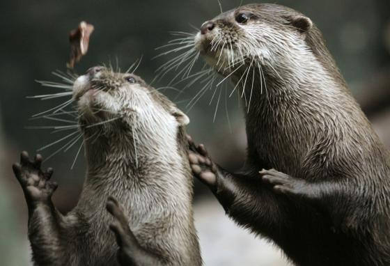 Two Asian small-clawed otters compete for a piece of fish at the Sea Life Center in northern Germany. (AP/Heribert Proepper)