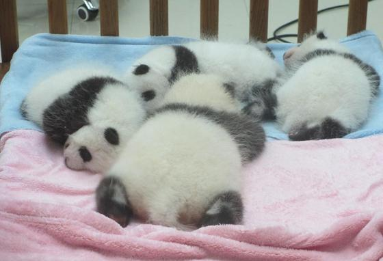 Baby pandas are very furry. They sleep a lot.