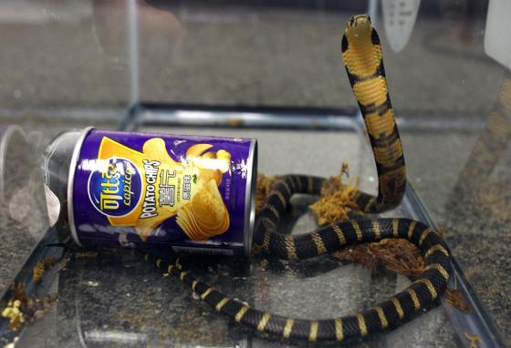 There are many types of snakes in Hong Kong, including this king cobra. (U.S. Fish and Wildlife/AP)