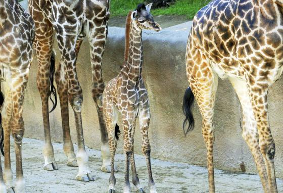 An early English word for giraffes was camelopard—camel for the long neck and leopard for the spots. (AP)
