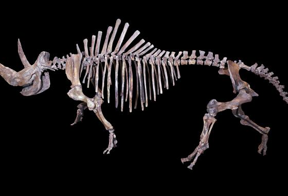A skeleton of a woolly rhino (Didier Descouens/CC BY-SA 4.0)