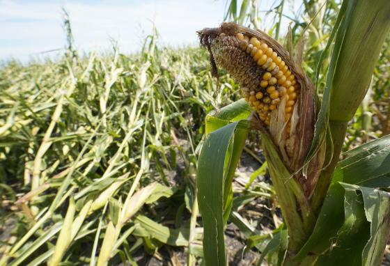 Farmers tried to save what they could. This time, many crops couldn't be saved. (AP)