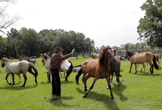 Bill Frank Brown stands among Choctaw mares on his family farm in Poplarville, Mississippi. (AP)