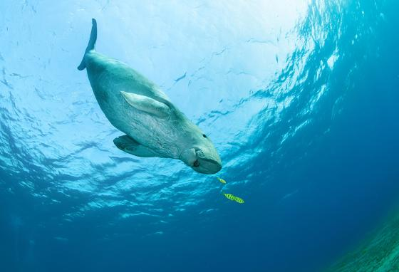 An adult dugong swims after small, colorful fish. (123RF)