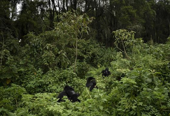 The drone can spot animals in the forest like Urwibutso, Segasira, and Pato, three silverback mountain gorillas in Rwanda. (AP)