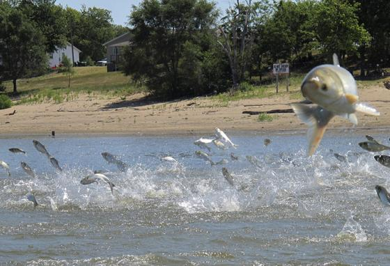 Asian carp leap out of the Illinois River after being jolted by an electrical current. (AP)