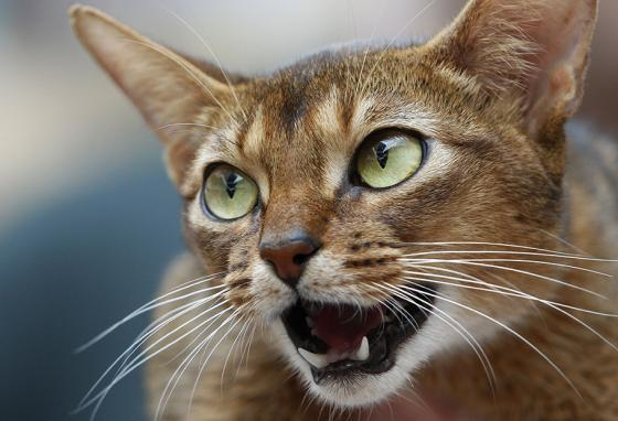 An Abyssinian cat, a breed that comes from Southeast Asia (AP)