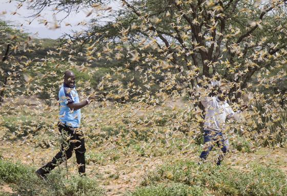 Two Samburu men who work for a county disaster team identifying the location of the locusts are surrounded by a swarm of desert locusts in Kenya. (AP)