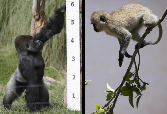 Apes are usually taller than monkeys. (AP)
