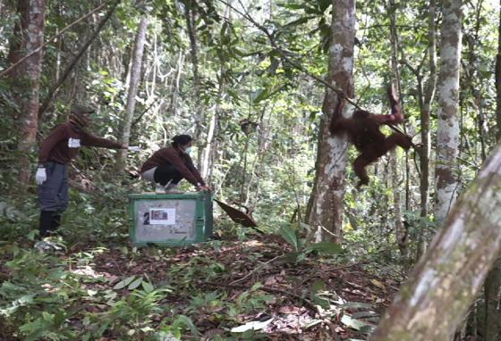 Once trained, the orangutans are released back into safe rainforests. (AP)